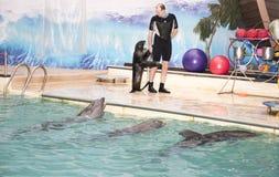 L'istruttore cammina con il leone marino davanti ai delfini Fotografia Stock