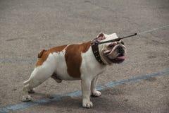 L'Italia, Sardegna, bulldog per una passeggiata Fotografia Stock