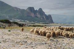 L'Italia, Sicilia, gregge delle pecore Fotografia Stock