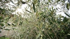 L'Italia tuscany Di olivo video d archivio