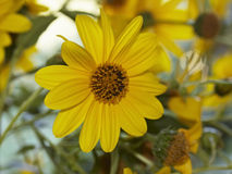 l'Italie, campagne, fleurs de topinambur photos stock