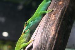 l'Italie. Gênes. Aquarium. Gecko vert de jour. photos stock