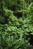 L'ivrogne, la vie de plante tropicale entourent le sentier de randonnée de forêt tropicale à la réservation biologique de Trimbin photographie stock
