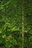 L'ivrogne, la vie de plante tropicale entourent le sentier de randonnée de forêt tropicale à la réservation biologique de Trimbin photos libres de droits