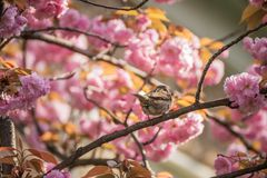 L'ivrogne Sakura fleurit, les fleurs roses sensibles dans le jardin Images stock
