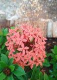 L'iXora rouge fleurit Bunga Soka Photographie stock libre de droits