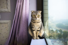 L kattsammanträde på ett fönster Arkivfoto