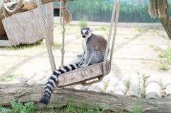 L?mur d'animal vivant se reposant sur une plate-forme en bois photos libres de droits