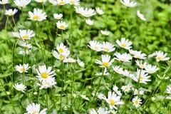 L?ndliche Landschaft an einem sonnigen Tag im Sommer Viele schönen weißen Gänseblümchen lizenzfreie stockbilder
