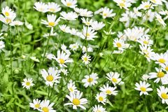 L?ndliche Landschaft an einem sonnigen Tag im Sommer Viele schönen weißen Gänseblümchen stockfotos