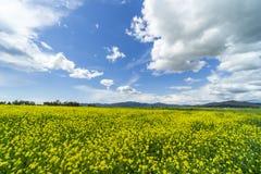 L?ndliche Landschaft Italiens Toskana Grosseto Maremma auf Bl?te, den Rapssamengebieten in bl?henden H?geln und Kiefernwald lizenzfreies stockfoto