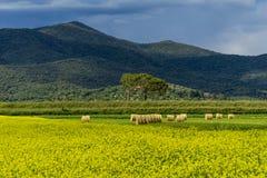L?ndliche Landschaft Italiens Toskana Grosseto Maremma auf Bl?te, den Rapssamengebieten in bl?henden H?geln und Kiefernwald lizenzfreie stockfotografie