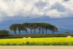 L?ndliche Landschaft Italiens Toskana Grosseto Maremma auf Bl?te, den Rapssamengebieten in bl?henden H?geln und Kiefernwald stockfotos