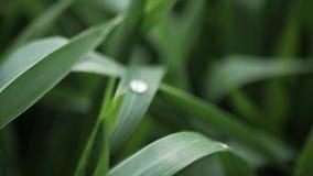l?ngsam r?relse Grönt gräs med dagg på vårmorgonen mitt emot solen lager videofilmer