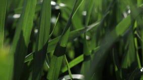 l?ngsam r?relse Grönt gräs med dagg på vårmorgonen mitt emot solen stock video
