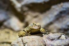 L'obesus latin de Sauromalus de nom de lézard sur la roche Détail d'animal de reptile photos stock
