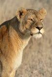 L'observation du lion Photo stock