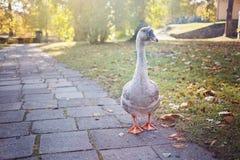 L'oca cammina su pavimentazione immagini stock