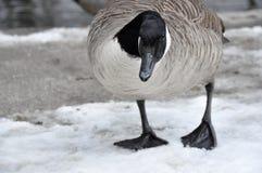 L'oca canadese femminile sta prima di un'insenatura Immagine Stock