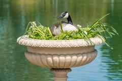 L'oca canadese ha fatto il nido in vaso decorativo Fotografie Stock Libere da Diritti