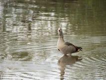 L'oca egiziana sta nell'acqua vicino alla riva del lago Fotografia Stock