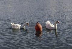 L'oca nuota nello stagno Immagine Stock Libera da Diritti