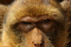 L'occhiata della scimmia Fotografie Stock Libere da Diritti