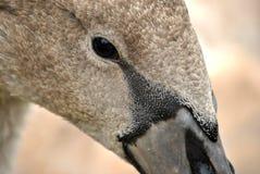 L'occhio del cigno Immagini Stock Libere da Diritti