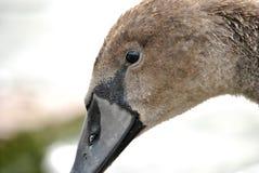 L'occhio del cigno Immagine Stock