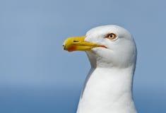 L'occhio del gabbiano Fotografia Stock