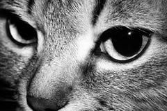 L'occhio del gatto Immagini Stock