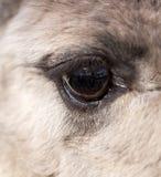 L'occhio del lama nello zoo Immagini Stock Libere da Diritti