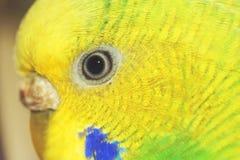 L'occhio del pappagallino ondulato giallo femmina Macro Fotografia Stock Libera da Diritti