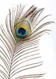 L'occhio del pavone Fotografia Stock Libera da Diritti