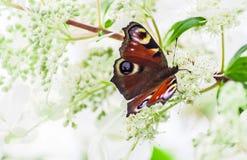 L'occhio del pavone della farfalla si siede su un cespuglio dell'ortensia Immagine Stock Libera da Diritti