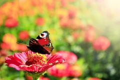 L'occhio del pavone della farfalla si siede sulla zinnia Fotografia Stock Libera da Diritti