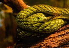 L'occhio del serpente si è arrotolato sul ceppo dell'albero, mamba verde Immagine Stock Libera da Diritti