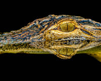 L'occhio dell'alligatore Immagini Stock