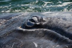 L'occhio della balena fotografie stock libere da diritti