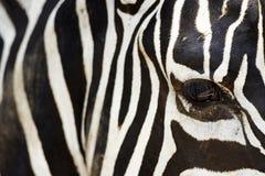 L'occhio della zebra e le bande, primo piano fotografie stock libere da diritti