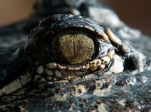 L'occhio di un coccodrillo Fotografia Stock Libera da Diritti