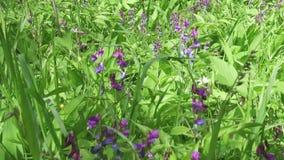 L'odoratus de lathyrus de pois doux est une usine fleurissante dans le genre lathyrus dans les légumineuses de fabaceae de famill clips vidéos