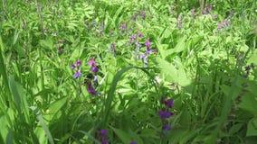 L'odoratus de lathyrus de pois doux est une usine fleurissante dans le genre lathyrus dans les légumineuses de fabaceae de famill banque de vidéos