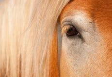 L'oeil belge du cheval de trait photo libre de droits