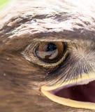 L'oeil d'un aigle en nature Images stock