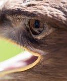 L'oeil d'un aigle en nature Photo libre de droits