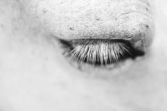L'oeil de chevaux blancs - verticale noire et blanche d'art photos libres de droits