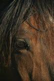 L'oeil du cheval de Brown Image libre de droits