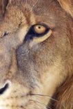 L'oeil du lion Photographie stock libre de droits