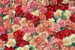 L'oeillet coloré fleurit le fond Vue supérieure Photo stock